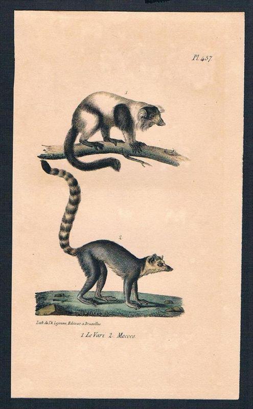 Affe Affen Lemuren Lemur Katta monkey monkeys Lithographie lithography