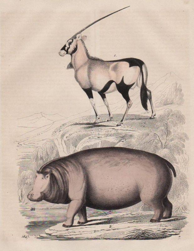 Antilope Flußpferd Hippo Jagd hunting Tier animal Original Lithographie 0