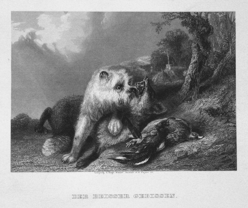 Der Beisser gebissen - Fuchs fox Hund dog Vogel bird Kampf fight Stahlstich steel engraving antique print