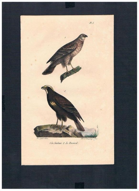 Bussarde Bueto hawks Vogel Vögel bird birds Lithographie Lithograph