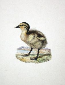 26 original watercolor drawings of chicks (little birds).