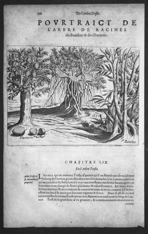 Pourtraict de l'Arbre de Racines du Bamvus & des Durions - India Asia Indien Asien Bäume trees Kupferstich cop