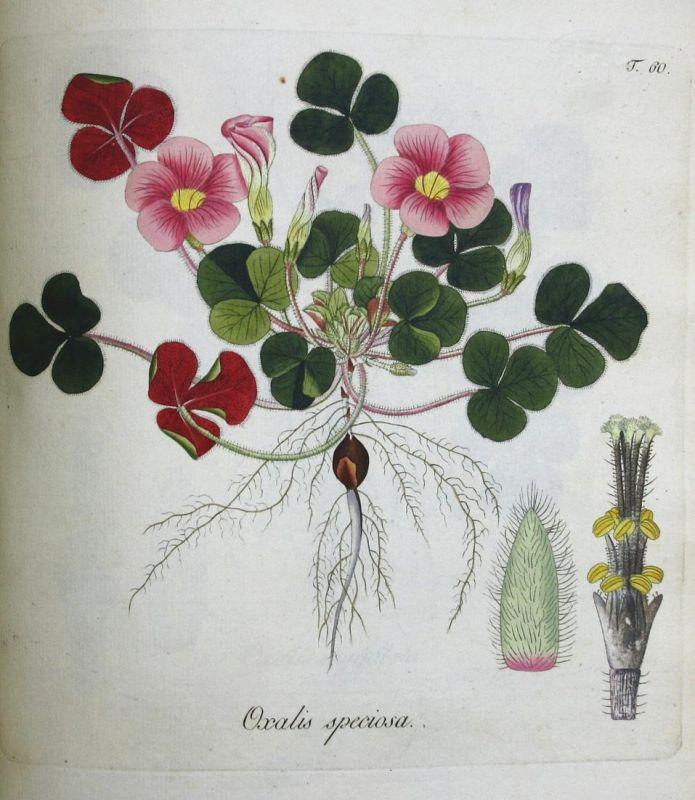 Oxalis. Monographia iconibus illustrata.