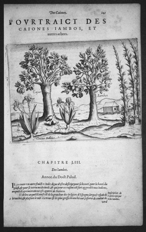 Pourtraict des Caiones Iambos, et autres arbres - India Indien Asia Asien Bäume trees Kupferstich copper engra