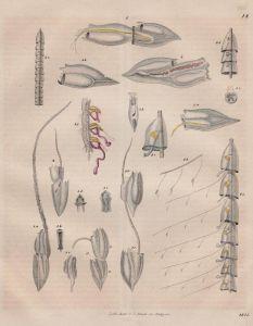 Qualle Doppelquallen jellyfish Fish Tier animal Original Lithographie