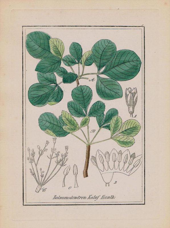 Myrrhe Myrrha Balsamodendron Kräuter Heilkräuter herbal herbs Kupferstich 0