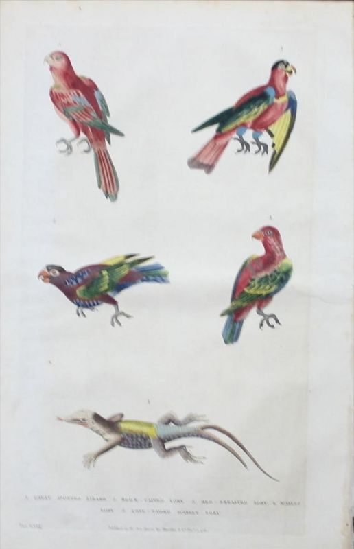 Eidechse lizard Papagei lory Vogel bird animals engraving Kupferstich