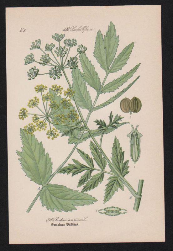 Pastinak parsnip Lithographie Kräuter Heilkräuter herbs herbal