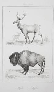 1. Wapiti. 2. Buffalo - Wapiti elk Buffalo Bison Amerika America USA Stahlstich steel engraving antique print