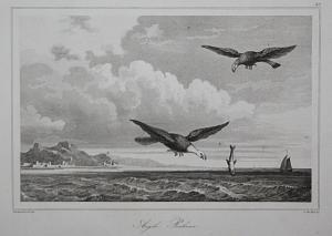 Aigle Pecheur - American fish eagle Schreiseeadler Amerika America USA  Ansicht view Stahlstich steel engravin