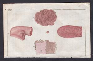T. II. -  Haut skin Mikroskopie microscopy Medizin medicine Kupferstich copper engraving antique print