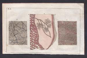 T. I. -  Haut skin Mikroskopie microscopy Medizin medicine Kupferstich copper engraving antique print
