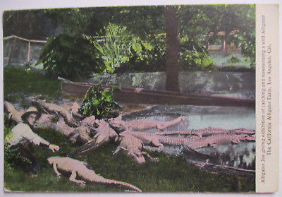 Tiere, Krokodile, Alligator, California Alligator Farm, 1909 (40958)