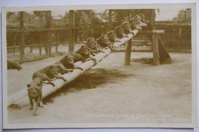 Tiere, Löwen Farm El monte in California, Fotokarte ca.1910 (49585)