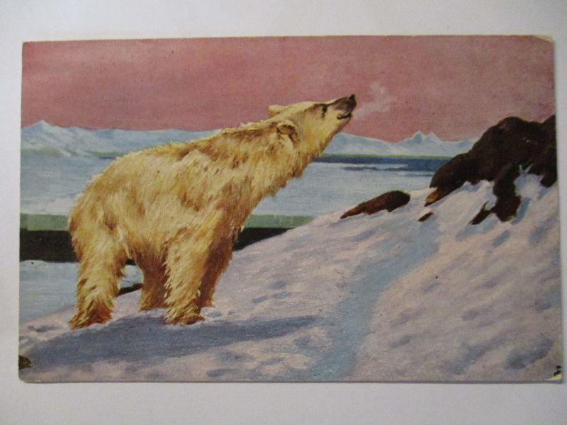 Tiere, Bären, Eisbär, ca. 1920 (40505)