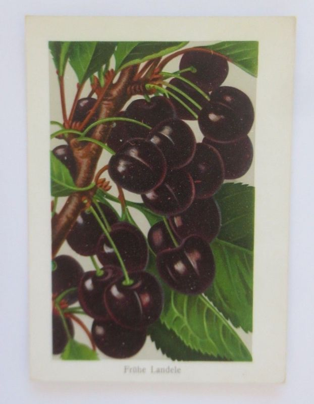 Obst, Früchte, Kirschen, Frühe Landele,   1945 ♥ (68797)