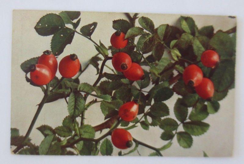 Obst, Früchte, Hageputten,   1910, Römmler & Jonas ♥ (68796)