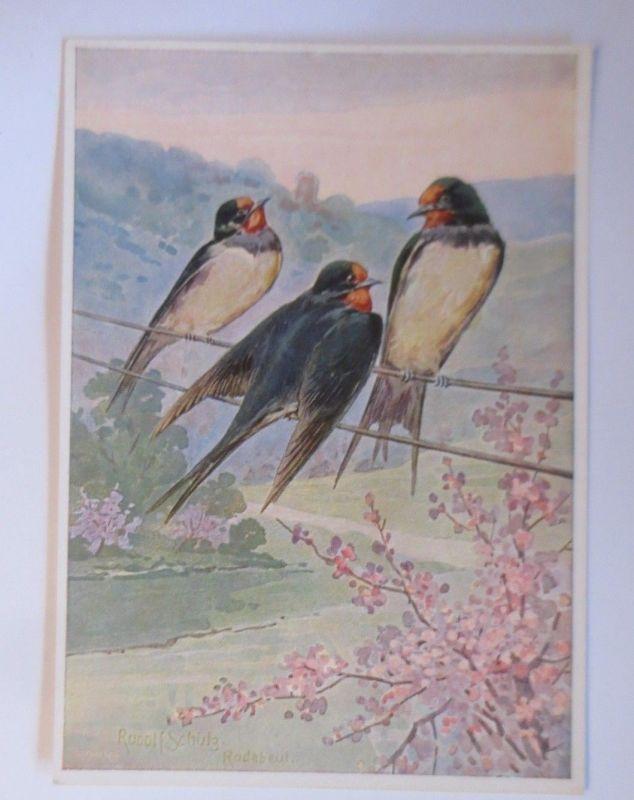 Vogel,  Schwalben, Rauchschwalben, 1910, R.Schulz ♥ (70174)