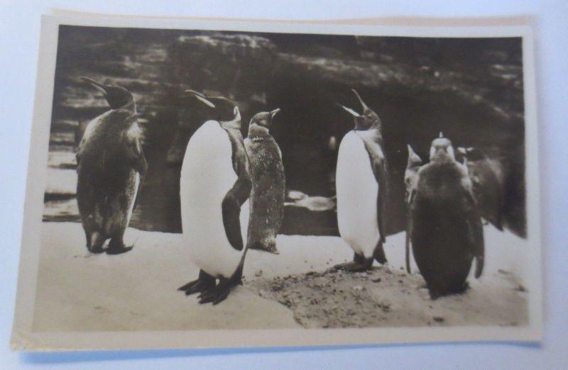 Königs-Pinguine, 1930, Carl Hagenbeck´s Tierpark, Stellingen-Hamburg ♥ (70169)