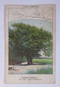 Kaufmannsbilder, Kavalier Lederputz Creme, Der Hain-Weißbuche ♥ (1247)