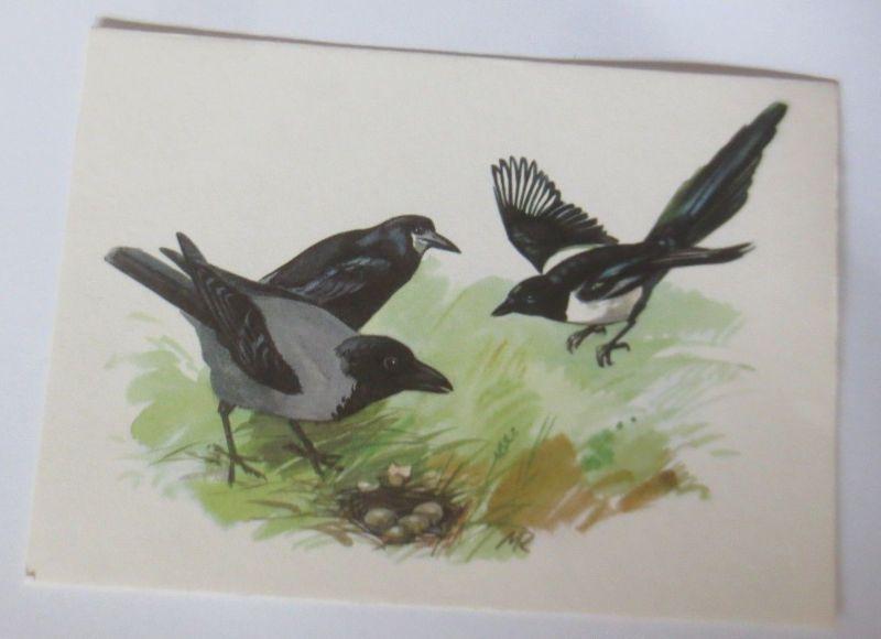 Vogel, Nebelkrähe, Saatkrähe, Elster,  1950 ♥ (70146)