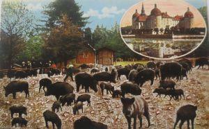 Moritzburg, Wildschweine, 1917 aus Moritzburg (4346)