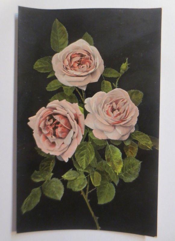 Blumen, Rosen,   1910  ♥   (15219)
