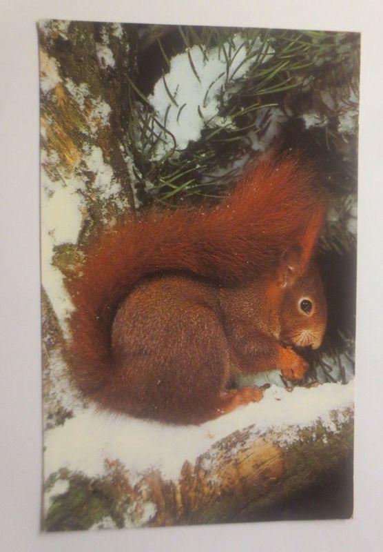 Winterlandschaft, Eichhörnchen, Tannenbaum,    1950 ♥ (70965)
