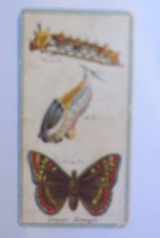 Stollwerck, Gruppe 12, Nr.11,  Großer Eisvogel, 1900 ♥ (1091)