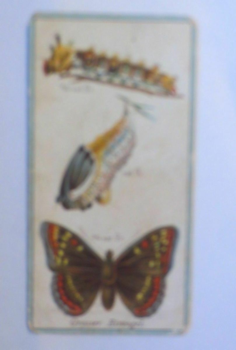 Stollwerck, Gruppe 12, Nr.11,  Großer Eisvogel, 1900 ♥ (1091) 0