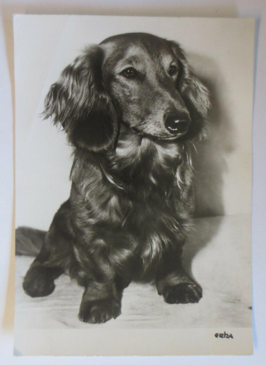 Hund, Dackel, Rauhaardackel,   1950 ♥ (41110) 0