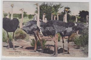 03749 AK Strausse in Deutsch Süd West Afrika um 1910