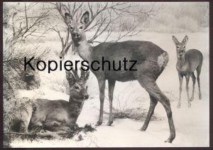 AK DIORAMA REHE IM WINTER HIRSCH Reh Hirsche Roe fallow deer daim chevreuil cerf hiver snow Museum f. Naturkunde Berlin