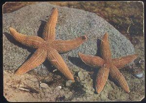 POSTKARTE SEESTERN NORDSEEHEILBAD BORKUM Starfish étoile de Mer du nord Seesterne Muschel Shell Nordsee North Sea cpa