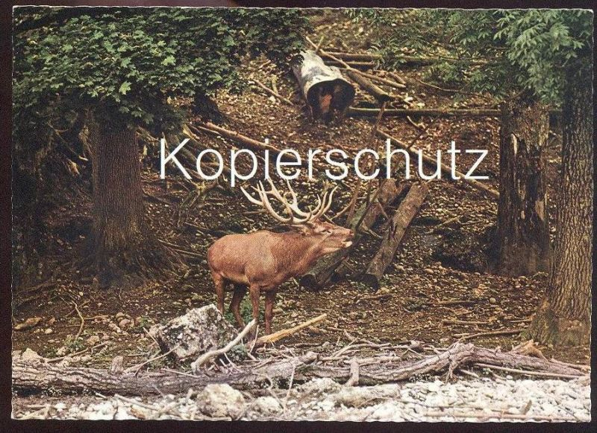 POSTKARTE ROTHIRSCH IM WALD Hirsch Reh Red deer Cerf élaphe Chevreuil Cervo cpa postcard AK Ansichtskarte
