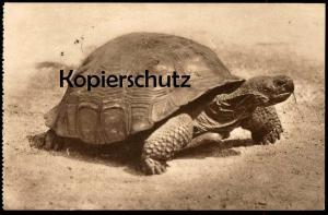 ALTE POSTKARTE SCHILDKRÖTE TIERPARK ROTTERDAM 1928 PLATKOPREUZEN SCHILDPAD TURTLE TORTUE TORTOISE TORTUGA ZOO postcard