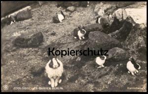 ALTE POSTKARTE BERLIN ZOO KANINCHEN Zoologischer Garten Tierpark rabbit rabbits lapin bunny postcard AK