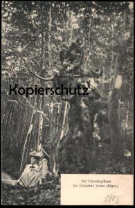 ALTE POSTKARTE DER OCHSENKOPFBAUM BEI LOHME INSEL RÜGEN Baum tree arbre Ochse Stier Kuh cow Ansichtskarte postcard cpa
