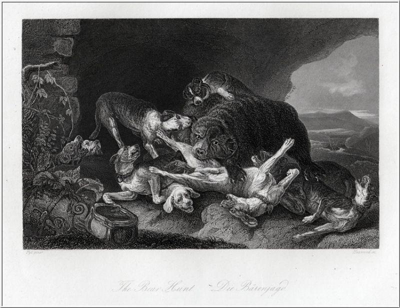 Die Bärenjagd mit Hunden. Stahlstich um 1850