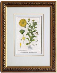 Echte Ringelblume, originale Chromolithographie um 1900, gerahmt