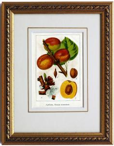 Aprikose, originale Chromolithographie um 1900, gerahmt