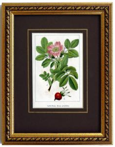 Apfel-Rose, originale Chromolithographie um 1900, gerahmt