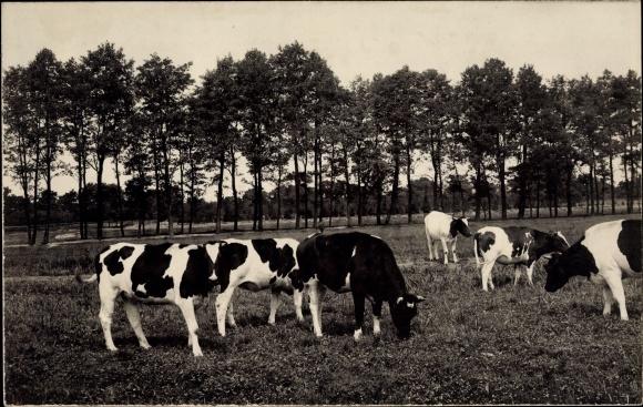 Foto Ak Schwarz weiß gescheckte Kühe auf der Weide