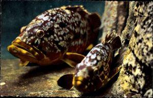 Ak Aquarium de Monaco, Epinephleus Gigas, Mérou brun, Dusky Perch, Cernia