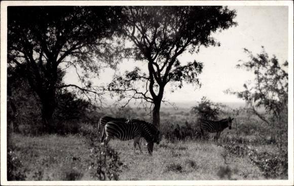 Ak Südafrika, Zebras im Freien beim Grasen, Gestreiftes Fell