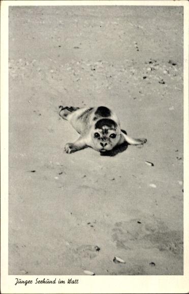 Ak Junger Seehund im Watt, Kleine Robbe am Strand