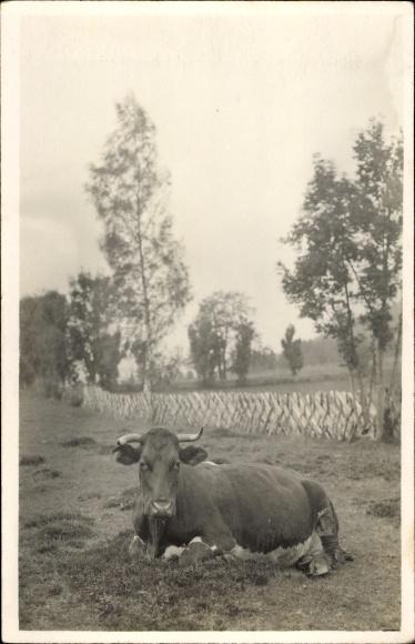 Foto Ak Liegende Kuh auf einer Weide, Holzzaun