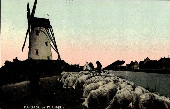 Ak Paysage en Flandre, Windmühle in Flandern, Herde von Schafen