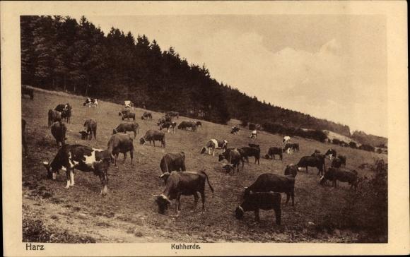 Ak Kuhherde im Harz beim Grasen auf einer Weide