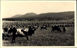 Foto Ak Heidenau, Kühe grasen auf einer Weide, Strohgarben